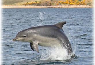 Dolphin near Nigg ferry