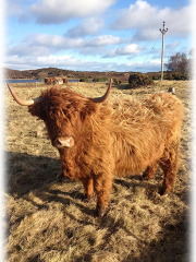 Highland cow on a winter's day at Loch Fleet