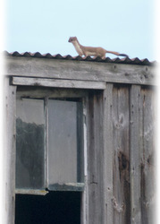 Stoat on the roof of a hut beside Oystercatchers
